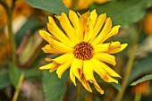 THE DOWER HOUSE, DERBYSHIRE: CLOSE UP OF YELLOW FLOWERS OF HELIANTHUS X LAETIFLORUS MISS MELLISH, FLOWERING, BLOOMING, PERENNIALS