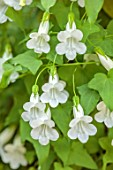 THE DOWER HOUSE, DERBYSHIRE: WHITE FLOWERS OF ASARINA SCANDENS SNOW WHITE, CLIMBING SNAPDRAGON, CLIMBERS, ANNUALS, GREEN, FOLIAGE, LOPHOSPERMUM