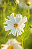 THE DOWER HOUSE, DERBYSHIRE: WHITE FLOWERS OF COSMOS BIPINNATUS PURITY, ANNUALS, COTTAGE, FLOWERING, BLOOMS, BLOOMING