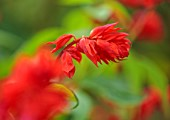 THE DOWER HOUSE, DERBYSHIRE: PLANT PORTRAIT OF RED FLOWERS OF SALVIA VAN - HOUTTEI, SAGES, FLOWERING, BLOOMS, BLOOMING, PERENNIAL