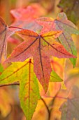 BLUEBELL ARBORETUM AND NURSERY, DERBYSHIRE: CLOSE UP PORTRAIT OF RED LEAVES OF LIQUIDAMBAR STYRACIFLUA PARASOL, SWEETGUM TREE, TREES, FOLIAGE