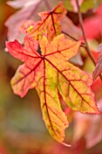 BLUEBELL ARBORETUM AND NURSERY, DERBYSHIRE: CLOSE UP PORTRAIT OF RED LEAVES OF LIQUIDAMBAR STYRACIFLUA, SWEETGUM TREE, TREES, FOLIAGE