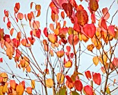 BLUEBELL ARBORETUM AND NURSERY, DERBYSHIRE: CLOSE UP PORTRAIT OF RED LEAVES OF KATSURA TREE, CERCIDIPHYLLUM JAPONICUM, TREES, FOLIAGE