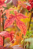 BLUEBELL ARBORETUM AND NURSERY, DERBYSHIRE: CLOSE UP PORTRAIT OF RED LEAVES OF LIQUIDAMBAR STYRACIFLUA ANJA, SWEETGUM TREE, TREES, FOLIAGE