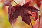 BLUEBELL ARBORETUM AND NURSERY, DERBYSHIRE: CLOSE UP PORTRAIT OF RED LEAVES OF LIQUIDAMBAR STYRACIFLUA BLACK BEAUTY, SWEETGUM TREE, TREES, FOLIAGE