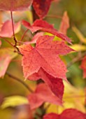 BLUEBELL ARBORETUM AND NURSERY, DERBYSHIRE: CLOSE UP PORTRAIT OF RED LEAVES OF LIQUIDAMBAR FORMOSANA AFTERGLOW, SWEETGUM TREE, TREES, FOLIAGE