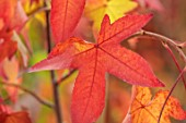 BLUEBELL ARBORETUM AND NURSERY, DERBYSHIRE: CLOSE UP PORTRAIT OF RED LEAVES OF LIQUIDAMBAR STYRACIFLUA MIDWEST SUNSET, SWEETGUM TREE, TREES, FOLIAGE