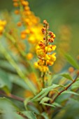 BLUEBELL ARBORETUM AND NURSERY, DERBYSHIRE: CLOSE UP PORTRAIT OF YELLOW, ORANGE FLOWERS OF MAHONIA X NITENS HYBRIDS, FRAGRANCE, SCENTED, SHRUBS