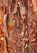 BLUEBELL ARBORETUM AND NURSERY, DERBYSHIRE: CLOSE UP PORTRAIT OF BARK, TRUNK OF ACER GRISEUM, TREES, DECIDUOUS