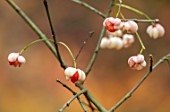 BLUEBELL ARBORETUM AND NURSERY, DERBYSHIRE: CLOSE UP PORTRAIT OF PALE, PINK, ORANGE BERRIES OF EUONYMUS EUROPAEUS F. ALBUS, DECIDUOUS, SHRUBS