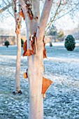 MORTON HALL, WORCESTERSHIRE: PEELING BARK, TRUNKS OF BETULA ALBOSINENSIS FASCINATION, TREES, WHITE, BIRCHES, WINTER, FROST, SNOW