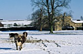 LONG HORN CATTLE AND THE HOUSE AT ROUSHAM PARK  OXFORDSHIRE